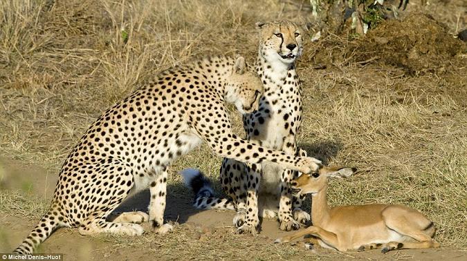 cheetah-oryx2.jpg
